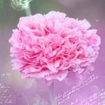 carnation-586874_640