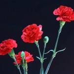 母の日は花束と鉢植えどっち?カーネーションは翌年咲く?選び方は?