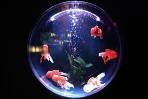 祭りの金魚の飼育はどうする?いるものは?長生きさせたいなら?