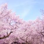 横浜でお花見デートをするなら?夜桜ライトアップも見たい!