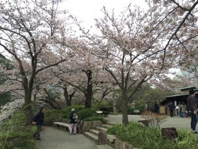 三渓園 夜桜 時間